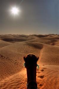 Sahara camel