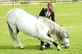 Lipizzaner Stallion inclinesion