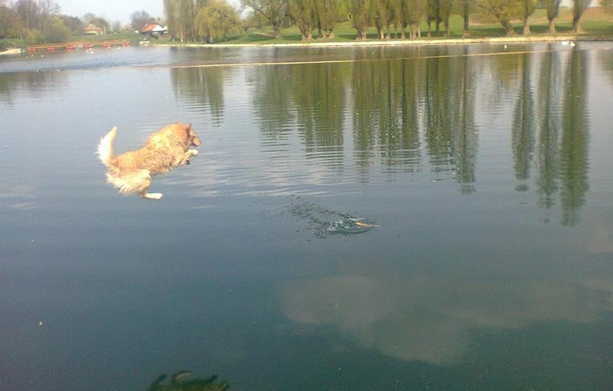 Dog jumping in Jarun Zagreb