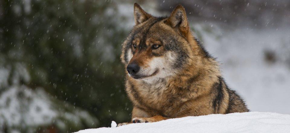 WOLF VUK